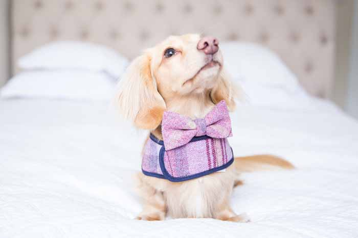 10-wedding-accessories-for-your-dog-2
